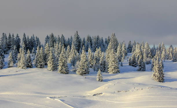 very beautiful winter landscape with fir trees stock photo
