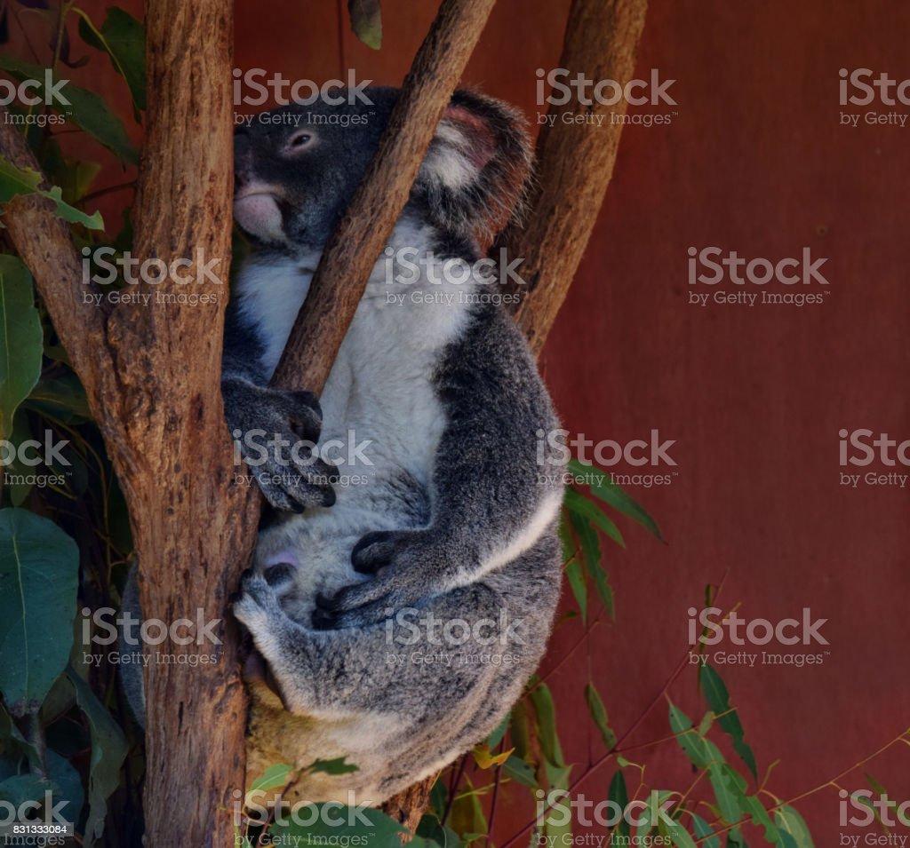 Very big koala stock photo
