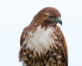 Very close view of a red-tailed hawk, seen in the wild in North California