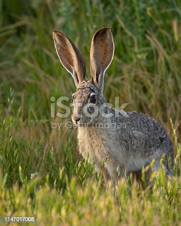 Very close view of a young black-tailed jackrabbit, seen in the wild near a north California marsh
