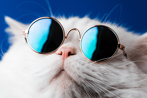 Very closeup view of amazing domestic pet in mirror round fashion sunglasses is isolated on blue wall. Furry cat in studio. Animals, friends, home concept. High quality photo