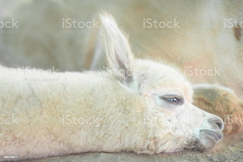 Very Cute baby alpaca to nap stock photo