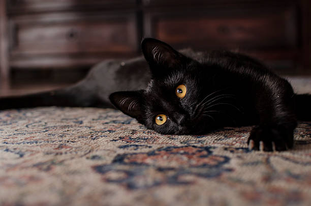 Very cute black cat playing on the carpet picture id453070783?b=1&k=6&m=453070783&s=612x612&w=0&h=bf9ckoos6775e0emg4mf3kwrgowwtdz3hyw 9a1mr7o=