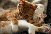 very cute red yellow tigger kittens playing around