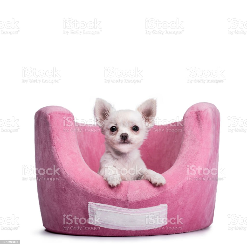 Very Cute Tiny Chihuahua Puppy Sitting In Pink Basket With Paws Over The Edge And Looking At Camera Isolated On White Background Stock Photo Download Image Now Istock