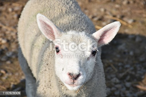 Adorable close up look into the face of a cheviot lamb.