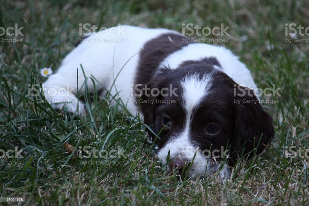 Very Cute Working Type English Springer Spaniel Puppy Stock Photo Download Image Now Istock