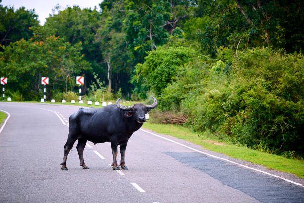 A very dangerous animal standing in the middle of the road. Danger to the driver, collision with an animal. The water buffalo (Bubalus bubalis) crosses the road, Sri Lanka stock photo