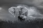 Very Dangerous Condition at Wildlife viewing in Africa. Mother Elephants are very dangerous with Elephant calf. ANiMAL LOVE ... Open Giant Elephant Mother and beautiful Calf
