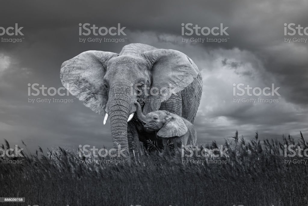 Very Dangerous Condition at Wildlife with Mother and baby elephant stock photo