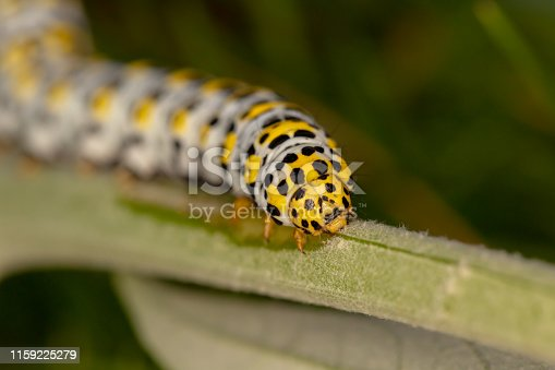 Narrow depth of field photo focused on head of Mullein moth caterpillar which appears to be moving towards camera.