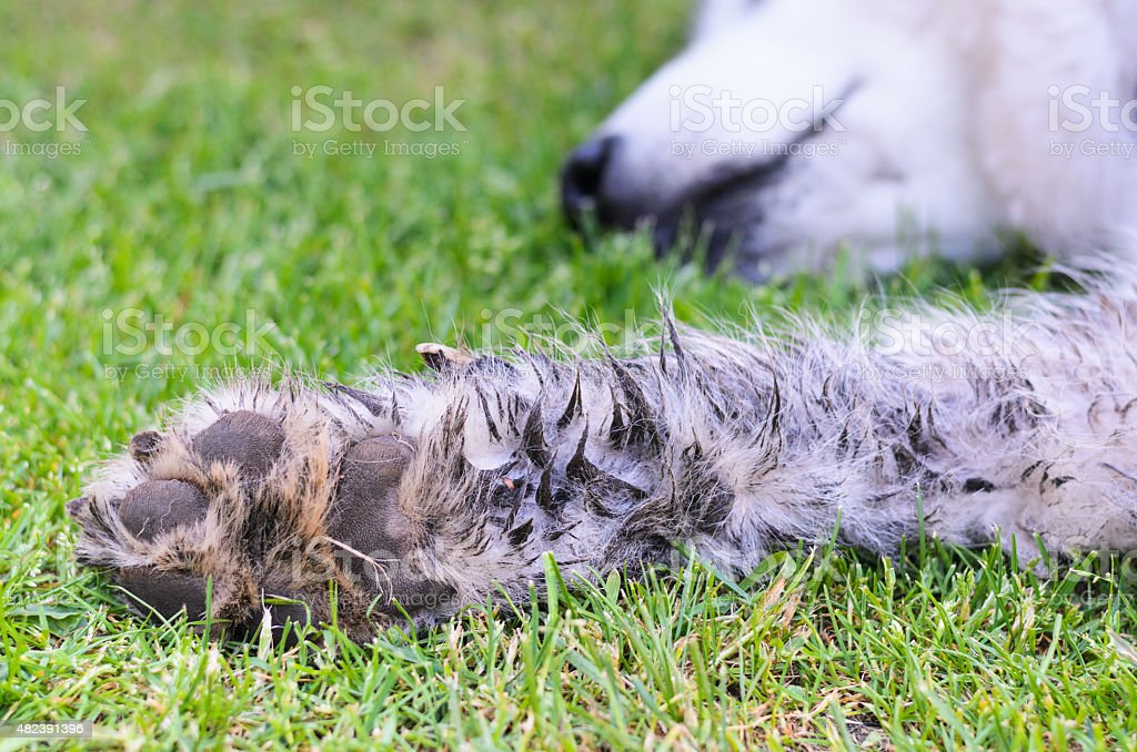 Very dirty dog paw royalty-free stock photo