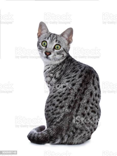 Very focussed cute silver spotted egyptian mau cat kitten sitting picture id956888146?b=1&k=6&m=956888146&s=612x612&h=xdxcvhmb 8hen9dm4rgy kqaydntdrogge2stte8am8=