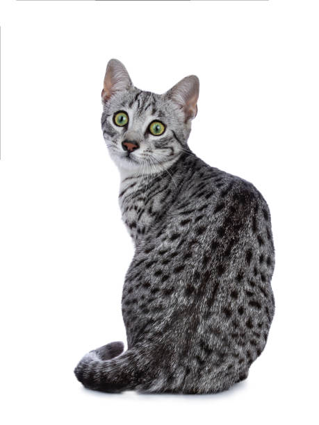 Very focussed cute silver spotted egyptian mau cat kitten sitting picture id956888146?b=1&k=6&m=956888146&s=612x612&w=0&h=  sc046b 4urv8n9vu1opuc3mhulhs7eemnp86 t1os=