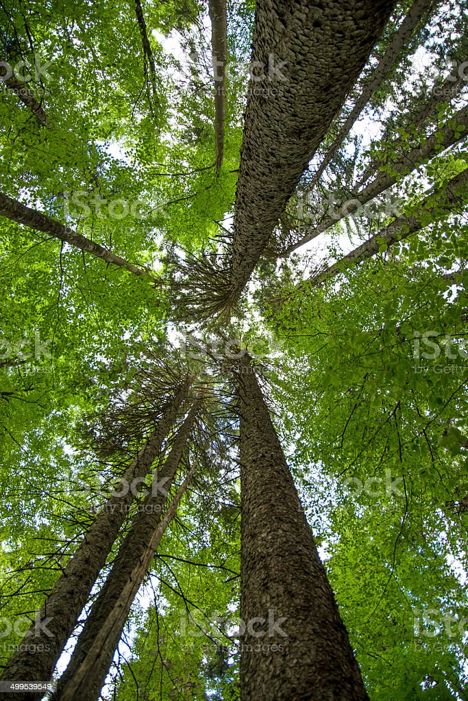 Very High Crowns Of Trees In Old Forest stock photo