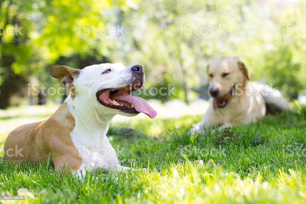 Very hot day - Royalty-free American Staffordshire Terrier Stock Photo