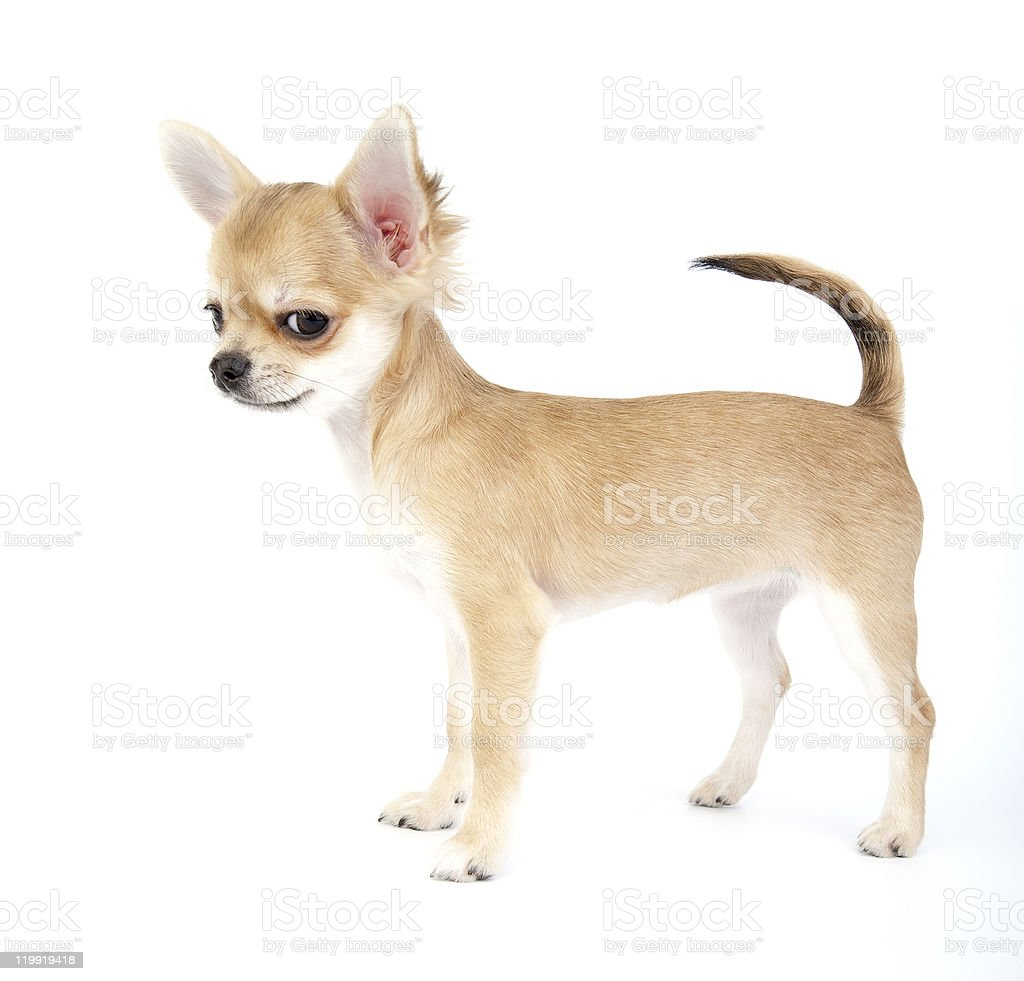 very important chihuahua puppy stock photo