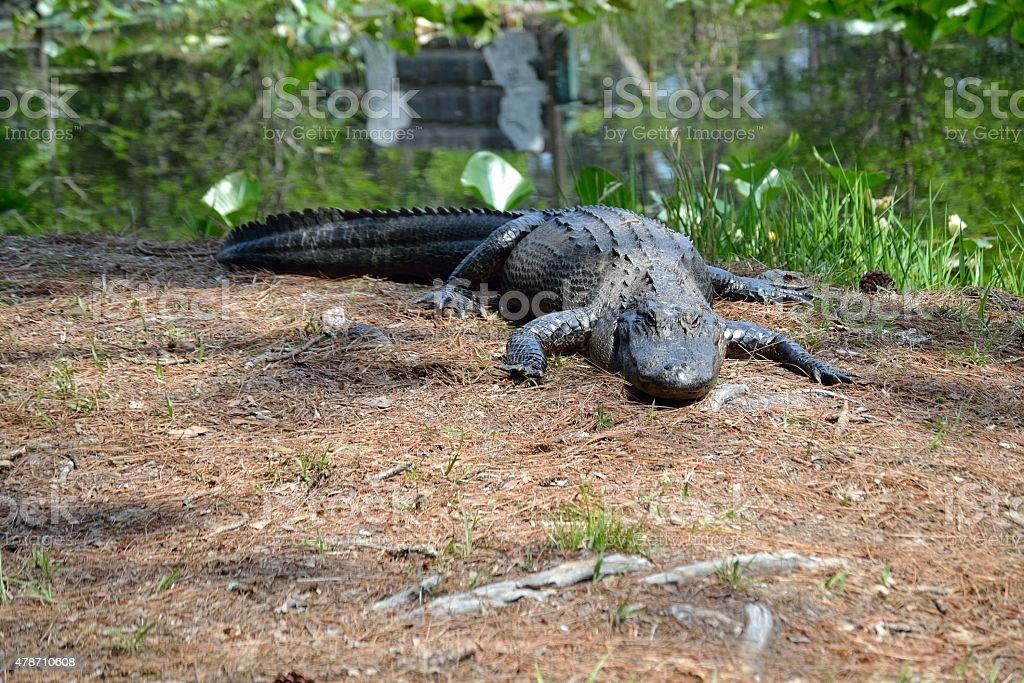 Very Large Alligator stock photo