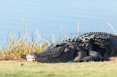 Very large American Alligator mississippiensis basking on the side of a pond on a golf course in Florida