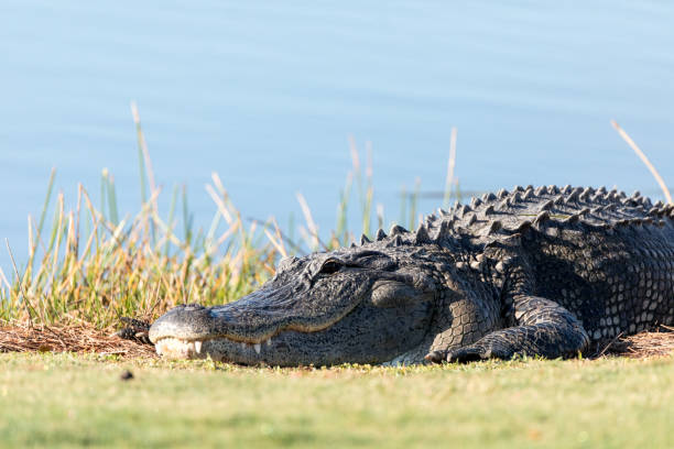 Very large American Alligator mississippiensis stock photo