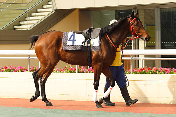 A very large horse on a paddock moving with its owner Horse on paddock ready to Race. sha tin stock pictures, royalty-free photos & images