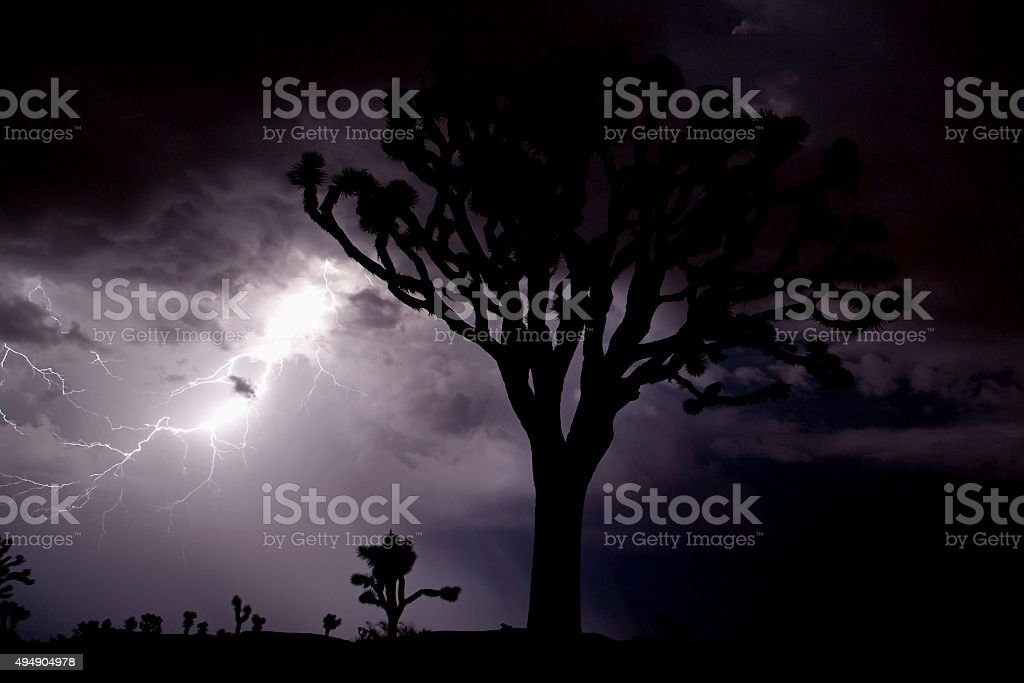 Very large joshua tree silhouetted with lightning. stock photo