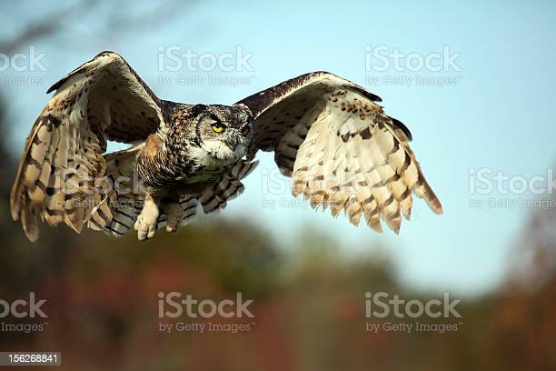 Very large owl prepared for landing on the ground picture id156268841?b=1&k=6&m=156268841&s=612x612&h=uchshl vdlaj463rms 4bopmanqnsv4aahoi98pw4ea=