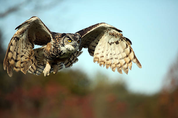 a very large owl prepared for landing on the ground - amerikaanse oehoe stockfoto's en -beelden