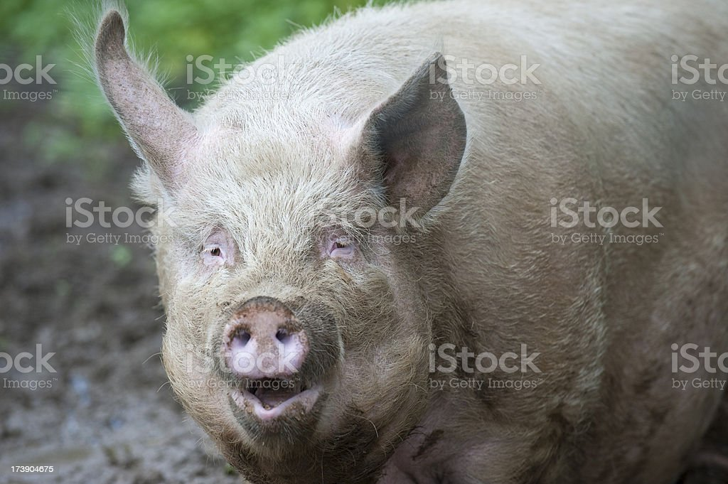Very Large Pig royalty-free stock photo