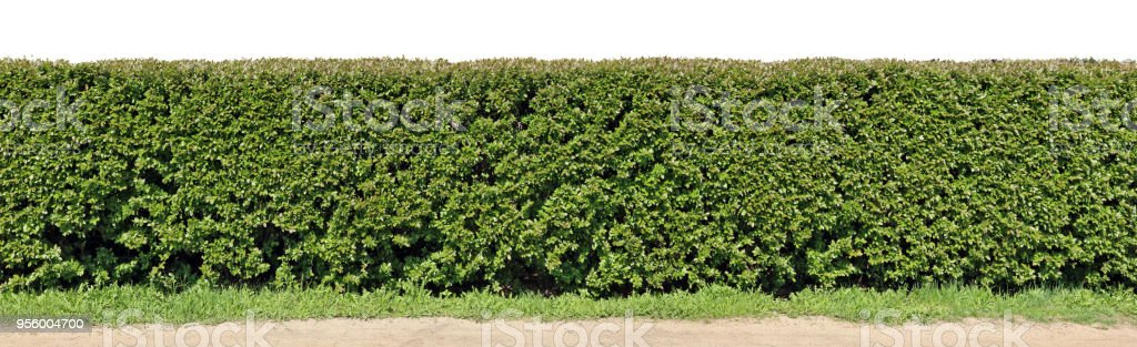 A very long hedge of cut decorative bush. Isolated on top high...