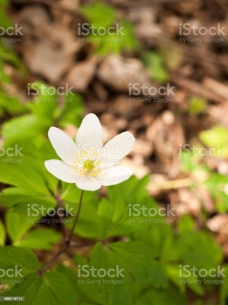 A Very Nice and Ornate Little White Anemone on the Forest Floor with Green Leaves and Blurred Background with twigs Isolated and Lit Harmony and Peace stock photo