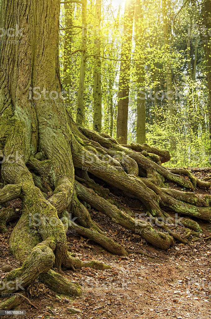 very old beech in a forest stock photo