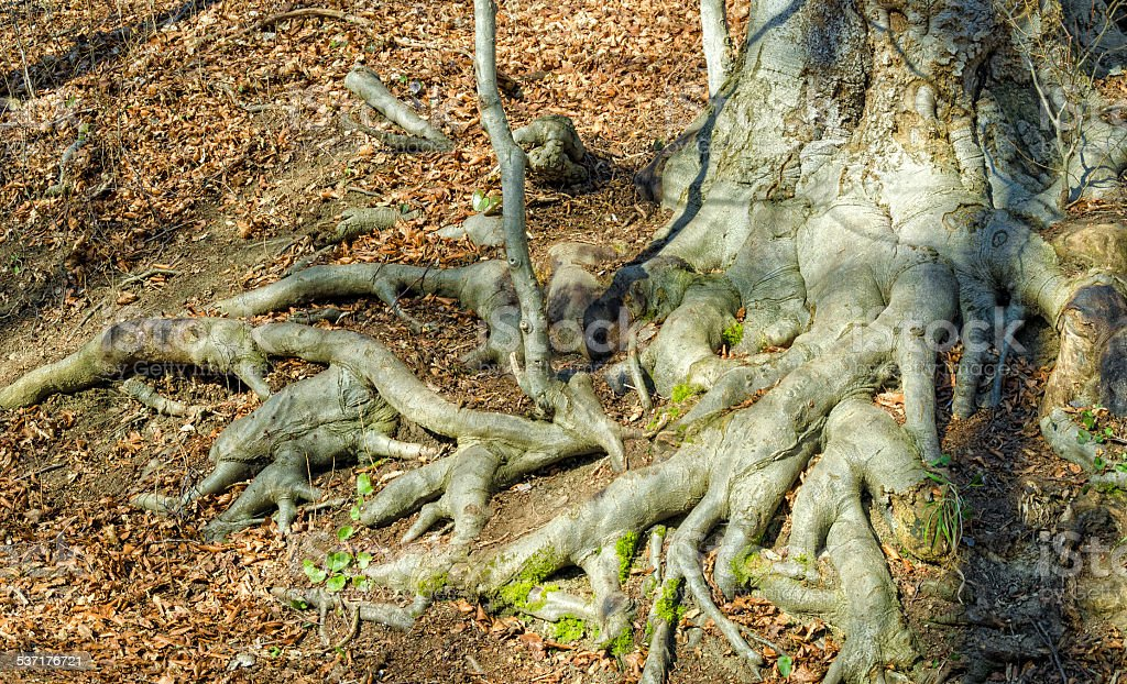very old beech roots in a forest stock photo