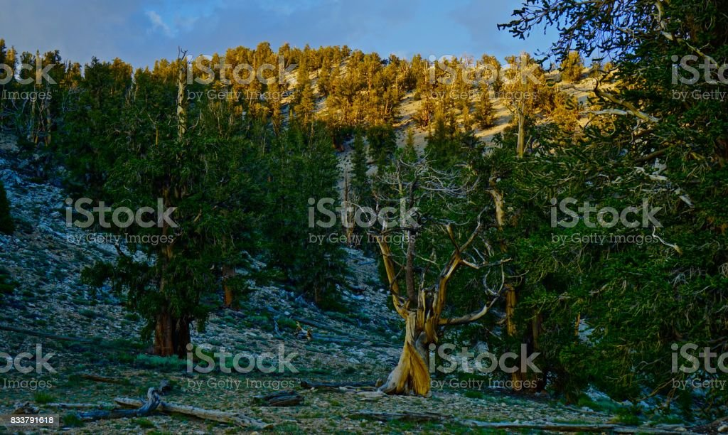 Very Old California Forest stock photo