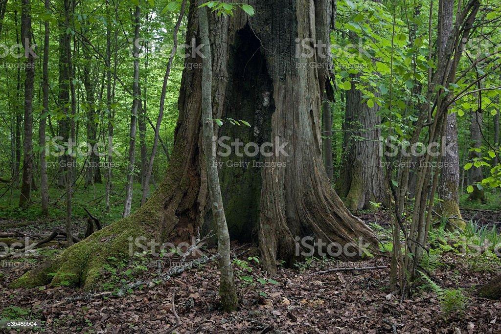 Very old oak trunk almost dead still standing stock photo