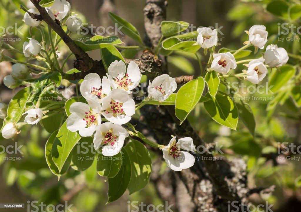 Very old pear tree in bloom foto de stock royalty-free