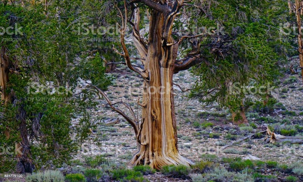 Very Old Pine Tree stock photo