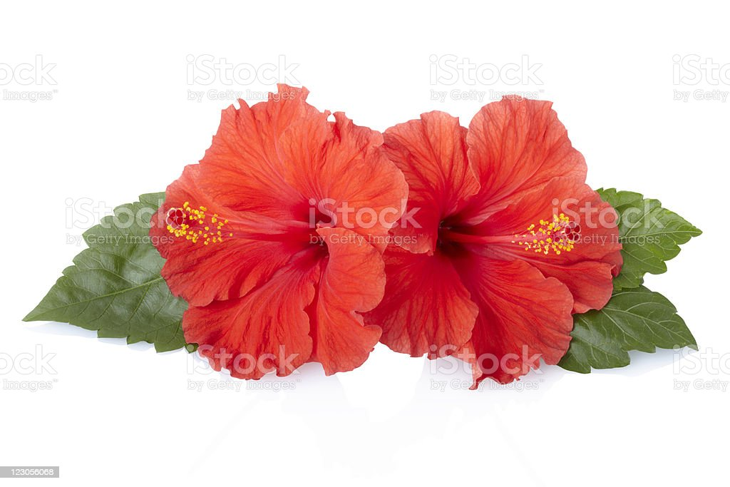 Very pretty red hibiscus has green leaves and yellow center stock photo