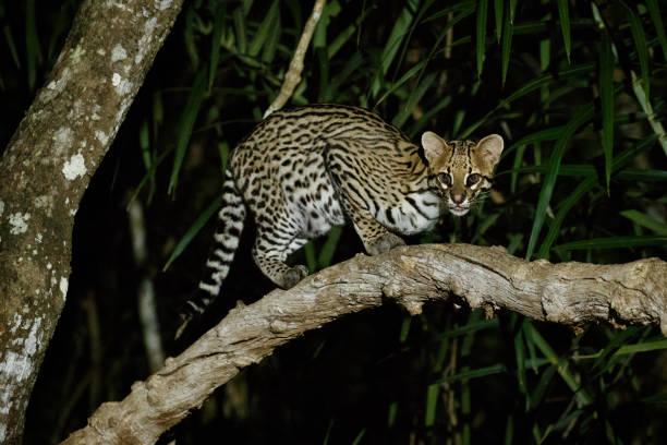 ocelot molto raro nella notte della giungla brasiliana - ocelot foto e immagini stock
