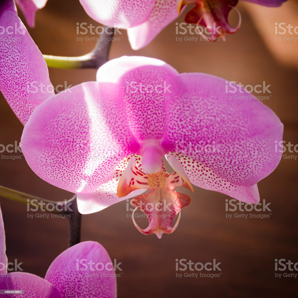 Very rare purple orchid. Closeup. royalty-free stock photo