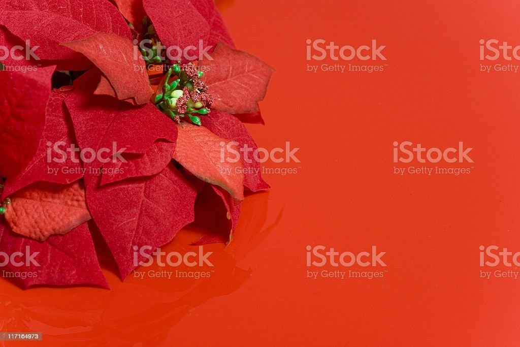 Very Red Poinsettias royalty-free stock photo