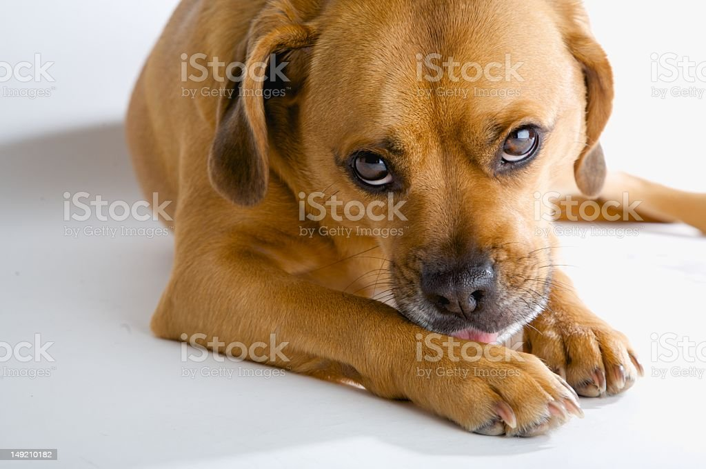 Very sad eyed dog waiting for his masters return stock photo