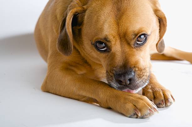 Very sad eyed dog waiting for his masters return Puggle licking his paw. licking stock pictures, royalty-free photos & images