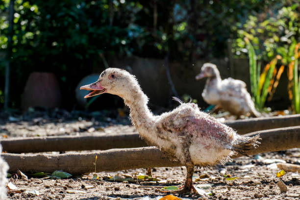 Very scary poultry zombie duck stock photo
