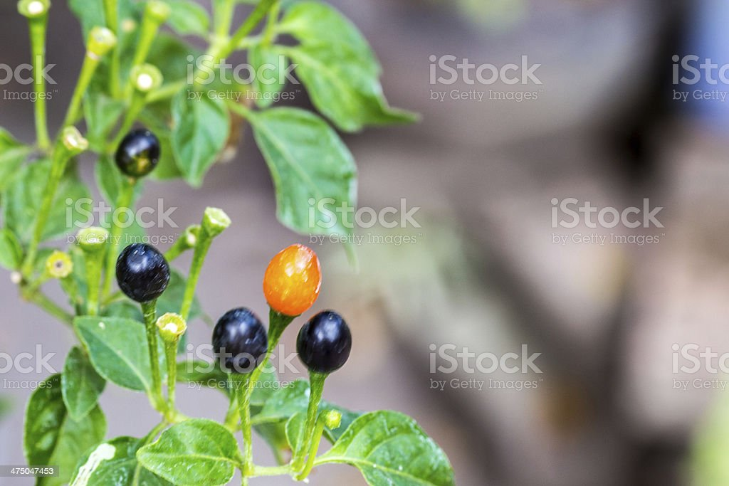 very small chili in plant royalty-free stock photo