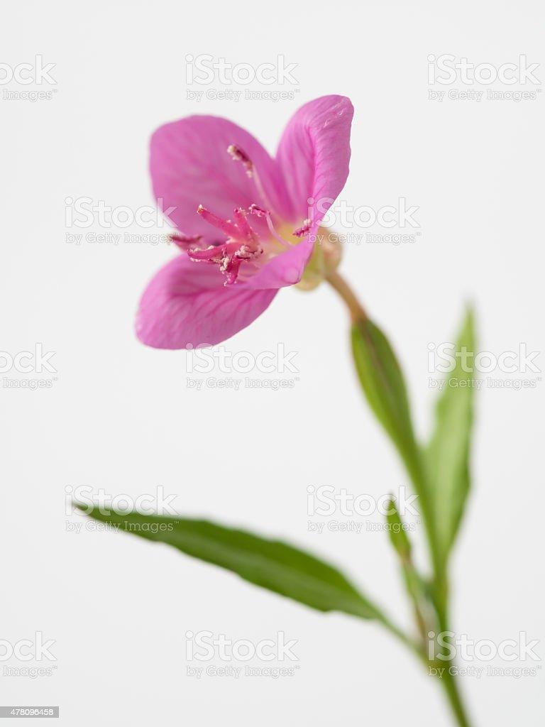 Kleine field flower_rose Nachtkerze – Foto