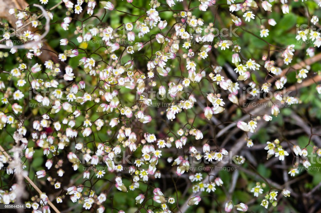 Very Small White Spring Flowers Floral Background Macro Closeup
