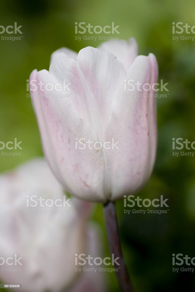 very soft pink tulips royalty-free stock photo