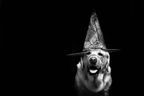 A very sorcerer dog
