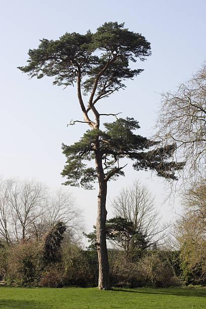 beautiful scots pine tree pinus sylvestris in morden hall park - fur bildbanksfoton och bilder